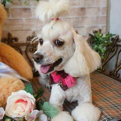 犬のいる生活/みるく/近況報告/犬のいる暮らし/🐶の散髪/カット/... ちょっとぶり~☝お久です😊🎵  少し前に…(4枚目)