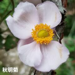 ガーデン/花/庭/金柑/🍘 最近のお庭です☝ 同じ🌺🍊🌳等の投稿です…(4枚目)