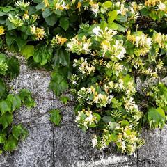 わんこのいる暮らし/アロエの花/景色/景色風景/風景/夕焼け/...  🐩🚶♀️散歩道で満開の花見っけ😊🌼 …(1枚目)