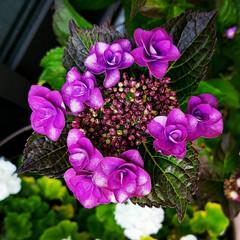 紫陽花/ガーデン/庭/グリーン 庭の額紫陽花が、咲きました🎵 今年は色が…