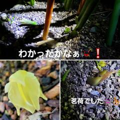 花のある暮らし/庭のある暮らし/茗荷の花/花好き/花/花を楽しむ/... たいへん☝️💦お待たせしました‼️  【…(1枚目)