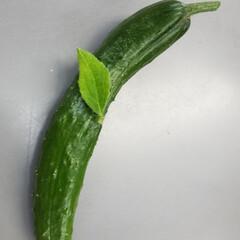 野菜の🌱/きゅうり/不思議ちゃん/芽/野菜 👀❕びつくりです🤭 こんなの見つけちゃい…