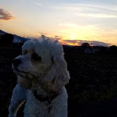 はな/夕陽/犬好きな人と繋がりたい/散歩道/朱色/おでかけ/... 柿と曼珠沙華🌼  お散歩🐩🚶♀️で柿と…(2枚目)