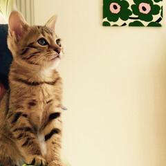 hal/ペット/猫/可愛い/marimekko/カリモク60 やんちゃで好奇心旺盛なはるちゃん。 いつ…
