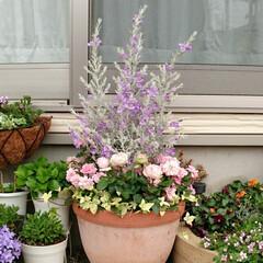ガーデニング/寄せ植え エレモフィラニベアとミニバラの寄せ植え …