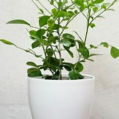 ダイソー/植物/ジャスミン/シルクジャスミン シルクジャスミン  下の子の名前の由来で…