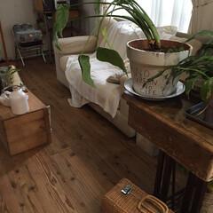 観葉植物/クワズイモ/鉢リメイク クワズイモの鉢をサイズアップ。これで元気…