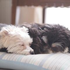 おやすみショット/犬/愛犬/おやすみベストショット/LIMIAペット同好会/わんこ同好会/... ミカ・ルカ2歳のときの写真です。ふたり寄…