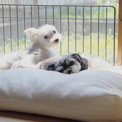 犬/わんこ同好会/LIMIAペット同好会/わんこ/兄弟犬/誕生日 7月27日に8歳の誕生日を迎えたミカ・ル…(1枚目)