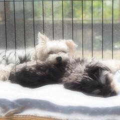 犬/おやすみショット/ヨーキー/マルチーズ/愛犬/LIMIAペット同好会/... 兄弟犬のミカ・ルカ。ふたりはとても仲良し…