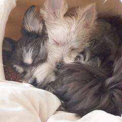 おやすみショット/犬/愛犬/兄弟犬/LIMIAペット同好会/わんこ同好会/... 毛色が白いのがルカ、黒いのがミカ。生後半…