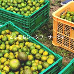 柑橘類/柑橘/柑橘系/遊び心/農業/収穫体験/... テキストで遊ぶ🐥 きょうはふんわり柑橘縛…(2枚目)