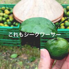 柑橘類/柑橘/柑橘系/遊び心/農業/収穫体験/... テキストで遊ぶ🐥 きょうはふんわり柑橘縛…(3枚目)