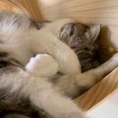 猫/スコティッシュ/猫のいる暮らし/猫との生活 六角ハウスの中で熟睡中の愛猫ぐう。顔を手…