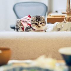 うちの子ベストショット/猫/スコティッシュ/猫のいる生活/猫と暮らす 人間の食事中、お気に入りの場所でジッとこ…