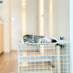 猫派/スコティッシュ/猫と暮らす/猫との生活 100均アイテムで作ったケージの上でくつ…