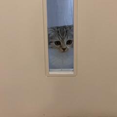 猫との生活/猫のいる暮らし/猫/子猫/スコティッシュ 出かける時と、帰宅した時はリビングのドア…