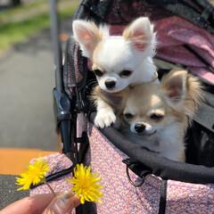 LIMIAペット同好会/LIMIAおでかけ部/フォロー大歓迎/ペット/ペット仲間募集/犬/... 久し振りに暖かくなったので、カートで散歩…