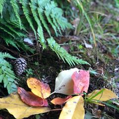 さんぽ/秋/おでかけ 秋散歩✨ シダ植物のわきに松ぼっくりと紅…