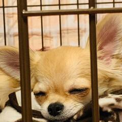 LIMIAペット同好会/フォロー大歓迎/ペット/ペット仲間募集/犬/わんこ同好会/... マルちゃんの寝顔を見てるだけで、こちらも…(1枚目)