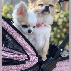 LIMIAペット同好会/LIMIAおでかけ部/フォロー大歓迎/ペット/犬/わんこ同好会/... 春が来たから、お散歩が楽しい二匹❤️ お…