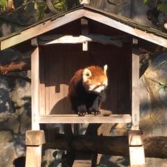 レッサーパンダ/動物園/神奈川県/野毛山動物園/おでかけ 野毛山動物園のレッサーパンダ〜  入園無…