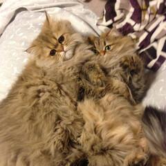 猫/ペルシャ 左はちゃむ 右はちょこ  普段仲悪いのに…