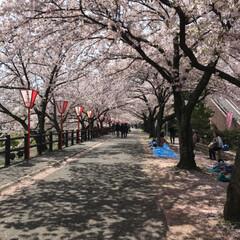 「どこまでも  続く桜のトンネル こんな …」(1枚目)