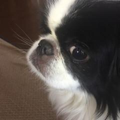 散歩嫌い/狆/愛犬/natural bazar 我が家にはお犬様もいらっしゃいます 名前…