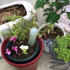 シクラメンの花/モミジ寺/おでかけ/フォロー大歓迎/LIMIAおでかけ部 朝、庭の縁台の下に咲き終わったシクラメン…