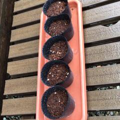 栗かぼちゃ/ベランダ/DIY/暮らし/ベランダガーデン/我が家のベランダ/... 朝から長雨が止まず、カボチャの種まきをし…(3枚目)