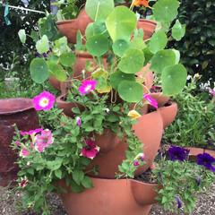 カボチャ/家庭菜園 何日も何日も続く雨空の下で金蓮花の花が、…