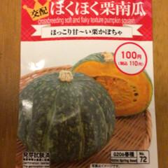 栗かぼちゃ/ベランダ/DIY/暮らし/ベランダガーデン/我が家のベランダ/... 朝から長雨が止まず、カボチャの種まきをし…(1枚目)