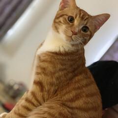 茶トラ 猫 可愛い 長いしっぽ/ペット/猫/にゃんこ同好会/うちの子自慢/決めポーズ/... サバトラ兄ちゃん、キジトラ兄ちゃんの新し…