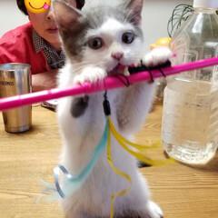 愛猫/ペット らんまる様がらんまるチャマだった頃 たま…