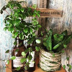 キッチン/栄養ドリンクの空き瓶/シュガーバイン/ワイヤープランツ/リメ瓶 実家の花壇にモリモリになってたシュガーバ…