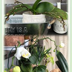 棚DIY/胡蝶蘭 3年前に頂いた胡蝶蘭、毎年花咲いてくれま…
