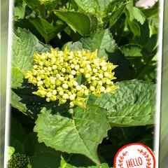 地植え/庭/紫陽花 お庭の紫陽花です😊 鉢植で頂いたのを、お…