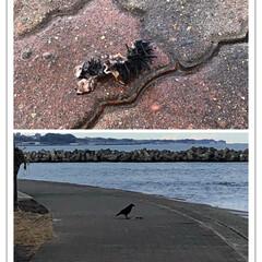 カラスさん/海/散歩/グルメ 今日ねお散歩🐶で、カラスさんが上手にウニ…