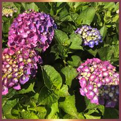 紫陽花 お庭の紫陽花です❣️ まだまた、これから…