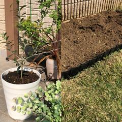 畑/オリーブの木/住まい オリーブの木、植えました😃おおきくなぁ〜…