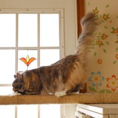 ペット/猫/メインクーン/爪とぎ/キャットウォーク キャットケージの上に渡した爪とぎキャット…