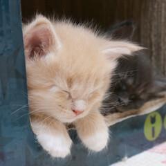 ペット/猫/子猫/寝顔 いっぱい遊んで、遊び疲れて、ねむねむのギ…