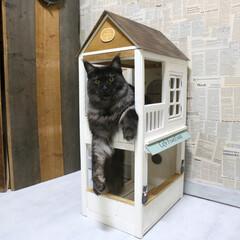 ペット/猫/DIY/キャットハウス/小屋/メインクーン/... 手作りキャットハウスの2階から顔を出して…