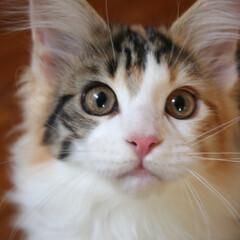 ペット/猫/メインクーン/三毛猫 目力抜群! 遊んで欲しくてワクワクが盛り…