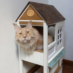 ペット/猫/DIY/キャットハウス/小屋/メインクーン 手作りキャットハウス(小)から顔を出して…