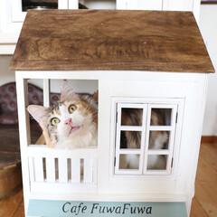 ペット/猫/メインクーン/DIY/小屋/キャットハウス/... お目目くりくりさせて「ここ、いいね!」っ…