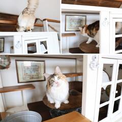 ペット/猫/キャットハウス/DIY/メインクーン 大きい方の手作りキャットハウスは格好の遊…