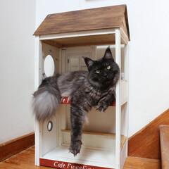 ペット/猫/メインクーン/キャットハウス/DIY 手作りキャットハウスで腕だらーんしてくつ…