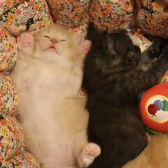 ペット/猫/子猫/へそ天/肉球 バンザイへそ天で寝ているギン。 肉球ツヤ…